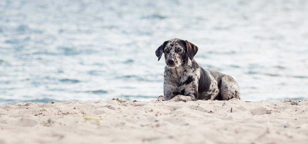 liegender Hund am Ostseestrand